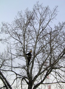 Dormant Tree Pruning