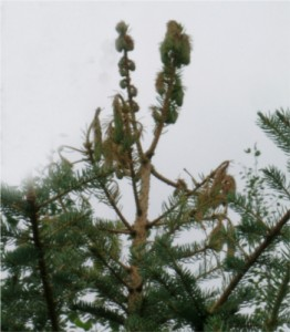 White Pine Weevil damage to spruce