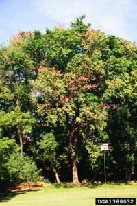 Flagging in Elm (Dutch Elm disease)