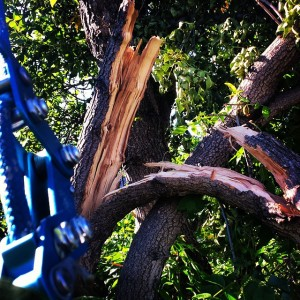 Day_7_of__stormdamage_cleanup._Will_be_many_Green_Ash_trees_removed_in__yyc_over_the_next_couple_years.___treework__arborist