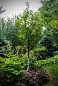 Tree Planting and Replacement Calgary AB