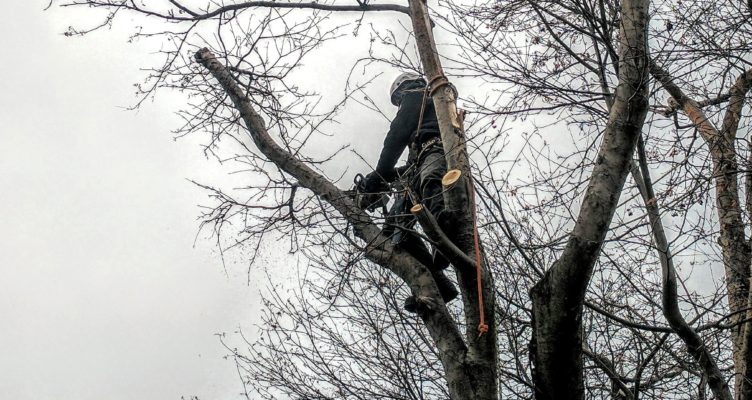 Pruning of Mountain Ash by Tree Expert