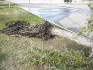 Fallen-Uprooted Tree (SE Calgary April 29 2010)