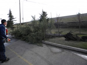 Fallen-Uprooted Tree (Fish Creek April 2010)