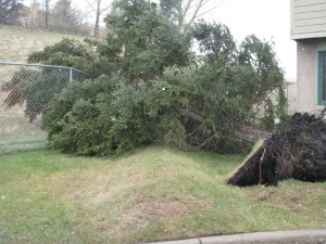 Uprooted Tree - pushed over by high winds