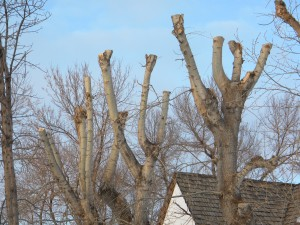 Severely pruned trees will develop weak growth that can become an issue