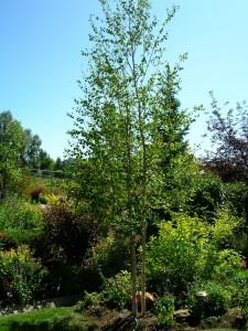 Planting -  birch tree