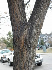 A crack in a Maple stem
