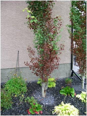 Bronze Leaf Disease – New Tree Disease in Calgary – Adair Tree Care