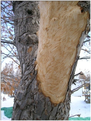 Tree Damage By Animals Common Tree Issues Adair Tree Care Ltd