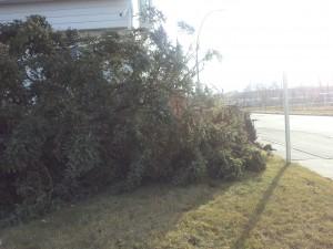 Fallen Spruce - NW Calgary