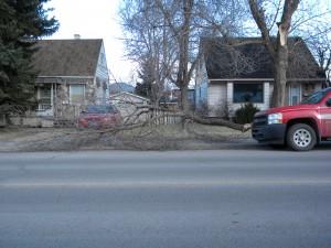 Broken Green Ash Tree