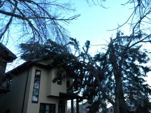 Spruce Stems on House