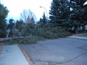 Spruce Fallen on Road