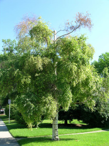 Birch With Dead Top