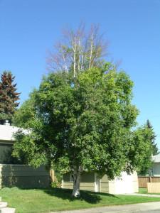Bronze Birch Borer Damage