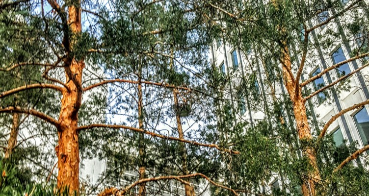 Downtown yyc pine tree
