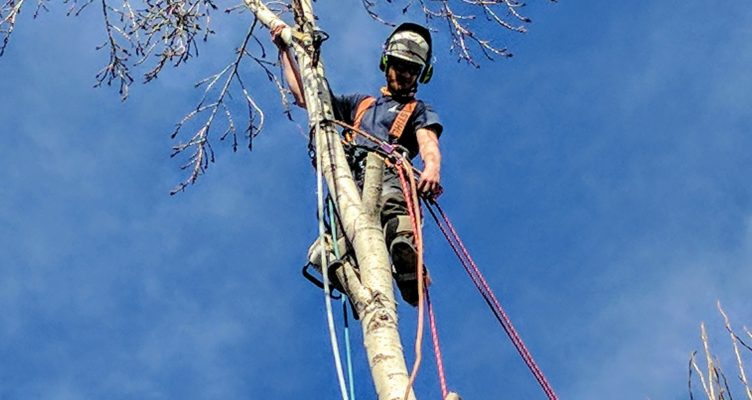 Poplar Tree - Top Removal
