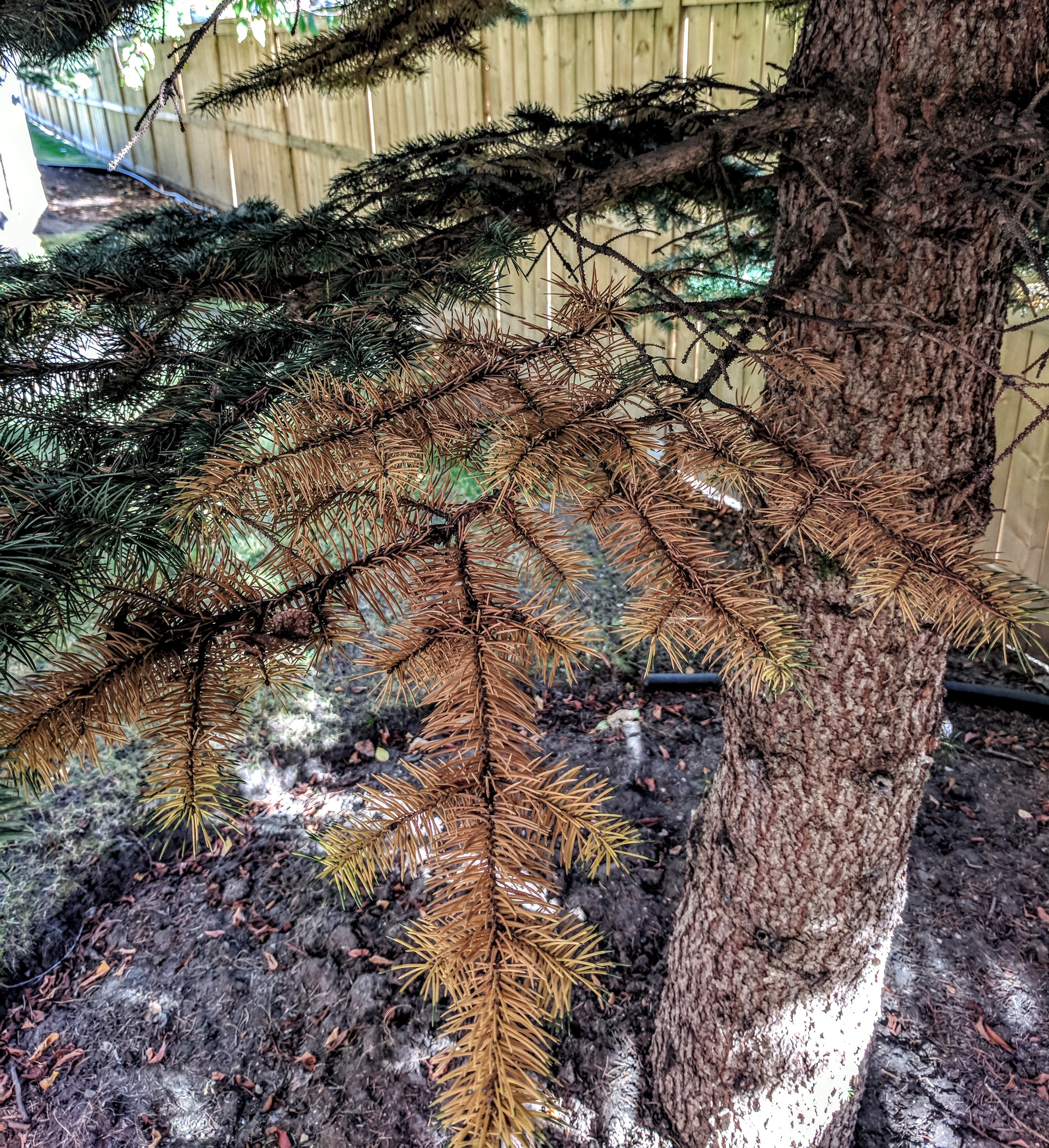 Trees Shed Last Of Their Leaves And We >> Seasonal Needle Drop Common Tree Issues Adair Tree Care Calgary